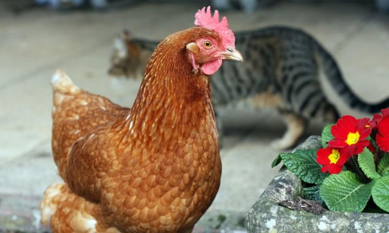 Keress kérdéseket hasonló témákban: állat, kakas, kukorékolás.