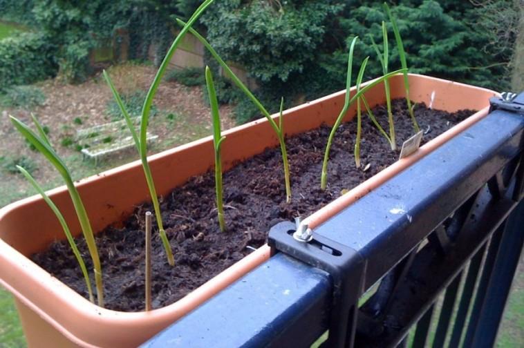 Fokhagyma- termesztés házilag