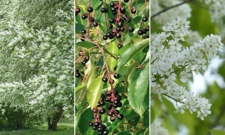 Fehér virágaival díszítő szoliterfa: a zselnicemeggy