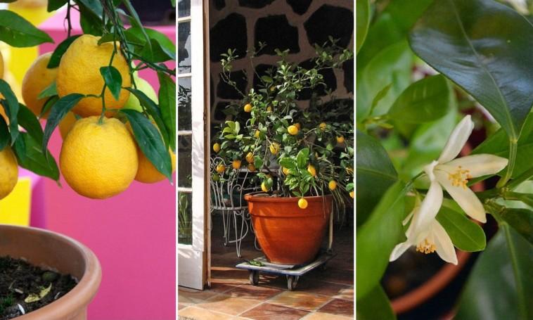 paraziták és citrusfélék)