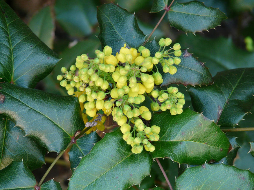 mahonia telen is diszit 02