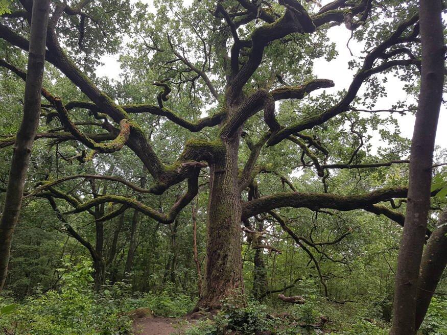 Chaga gomba (Hamvaskéreg gomba, Inonotus obliquus) A tölgyfa kéregének parazita tisztítása