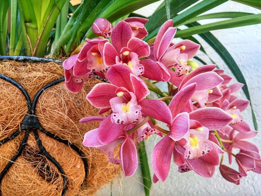orchidea atultetese 02
