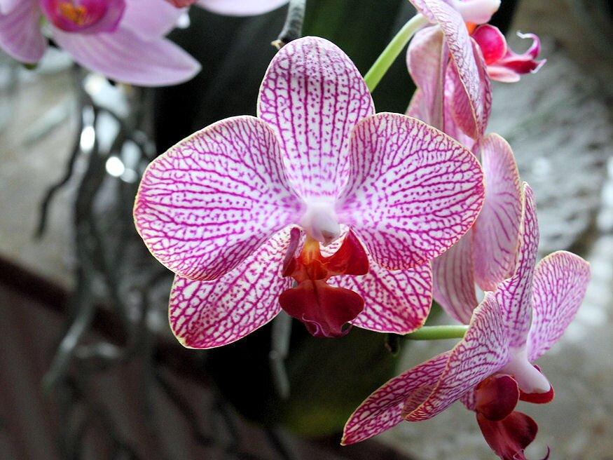 orchidea atultetese 04