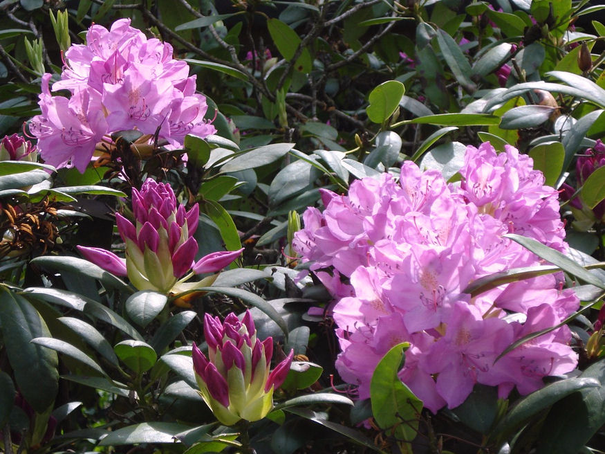 rhododendron sargul 03