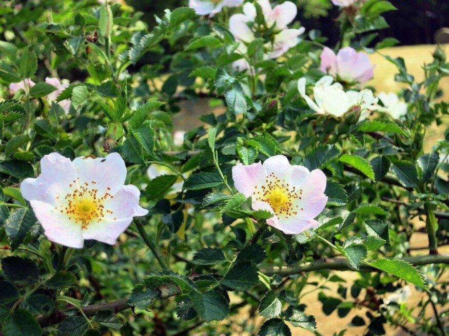 Hogyan neveljünk japán rózsát?
