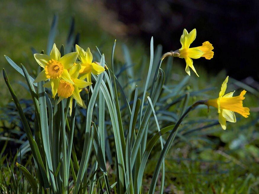 Mikor kell tavasszal virágzó hagymákat ültetni