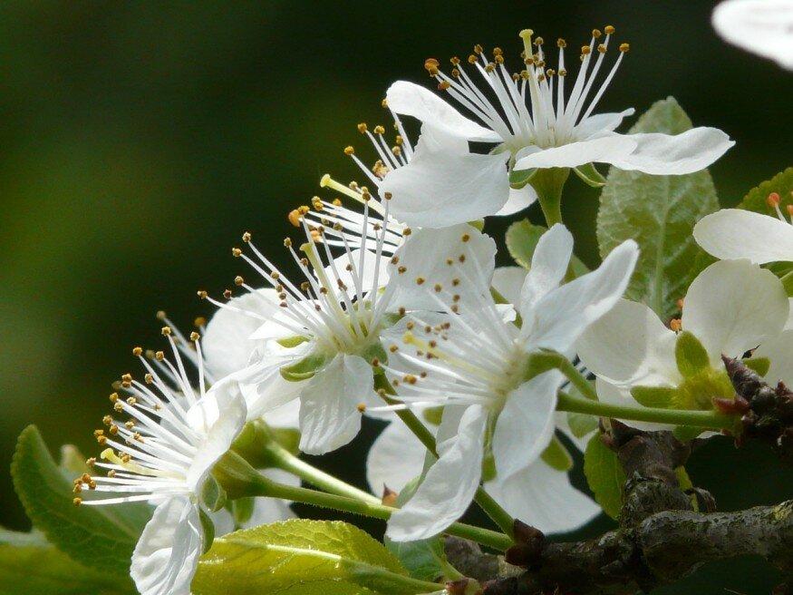 Virágzik a szilva