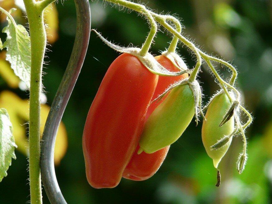 Paraziták a paradicsom levelein, Ezektől óvd meg a kerti paradicsomot